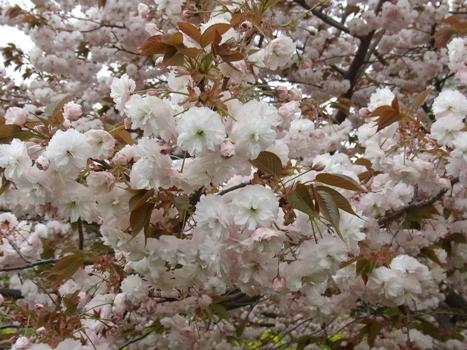 「サクラ ~八重桜;普賢像、撫子」