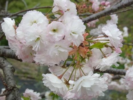 「サクラ ~八重桜;松月、南殿」
