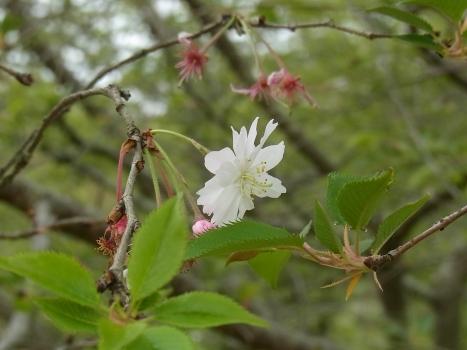 きれぎれの風彩 「城山公園の八重桜」11