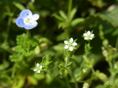 「ノミノツヅリ ~葉も白い花も極小」