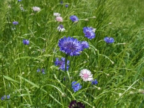 「ヤグルマギク ~色鮮やかな周辺花」