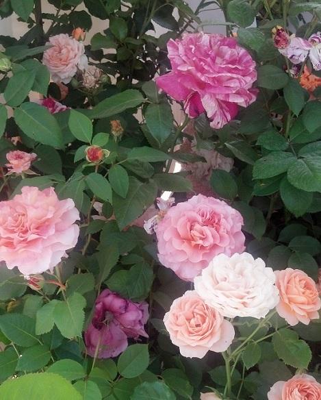 rose festival 5
