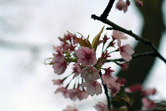 東京大学駒場校舎に咲いた河津桜