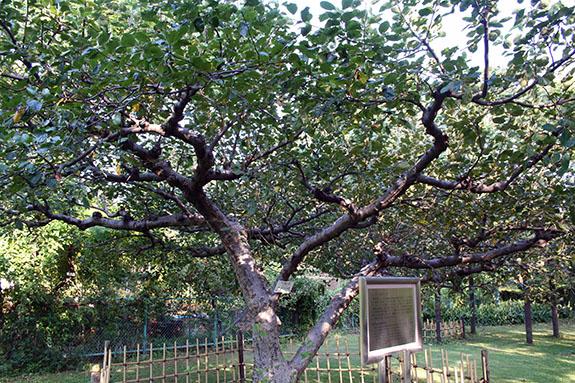 東京大学大学院理学系研究科付属植物園 ニュートンのリンゴの木