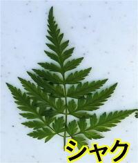 シャクの葉
