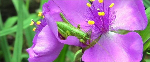 紫つゆ草にバッタ