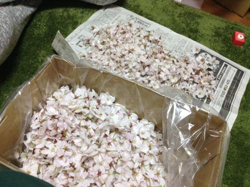 桜の仕分け作業の様子