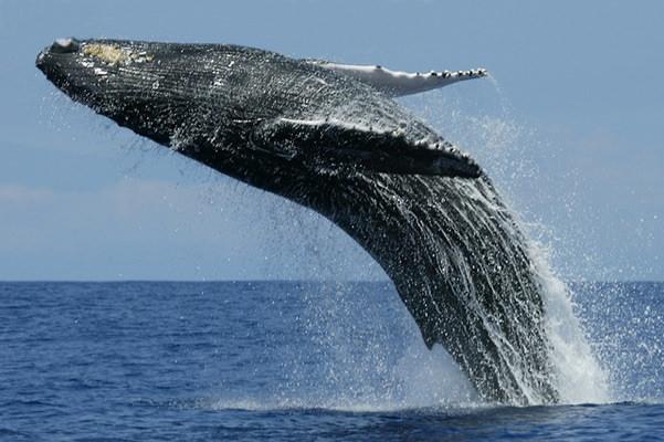 世界一大きい動物「シロナガスクジラ」