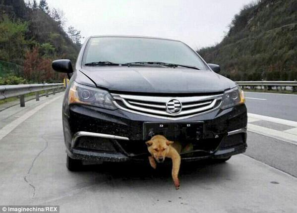九死に一生!?中国で時速100kmの車にはねられた犬に起きた奇跡