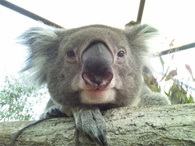 国内で最高齢のコアラ死ぬ。人間に換算すると100歳超え!
