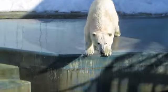 釧路市動物園の二足歩行シロクマ「ミルク」が話題に