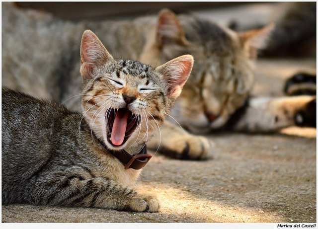 見てると眠くなってきちゃう!大あくびをする猫(写真7枚)