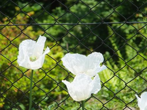 ケシの花3
