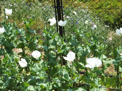 ケシの花4
