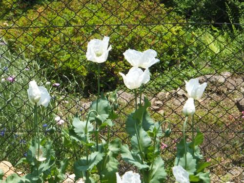 ケシの花5