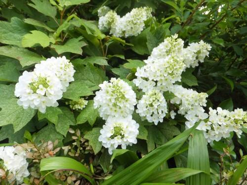 カシアバ紫陽花
