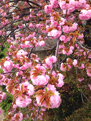 2015の八重桜