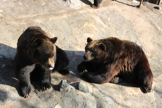 2014北海道旅行:のぼりべつクマ牧場 ヒグマ メス3