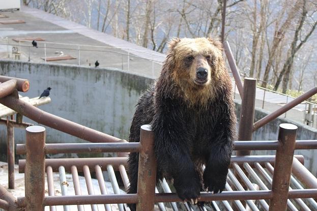 2014北海道旅行:のぼりべつクマ牧場 ヒグマ メス4