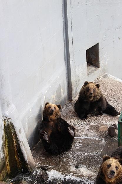 2014北海道旅行:のぼりべつクマ牧場 ヒグマ メス6