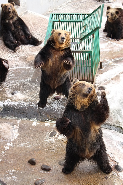 2014北海道旅行:のぼりべつクマ牧場 ヒグマ メス7