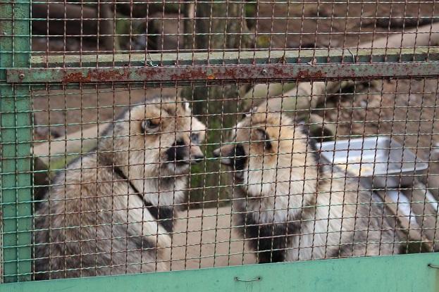 2014北海道旅行:のぼりべつクマ牧場 アイヌコタン タヌキ