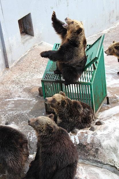 2014北海道旅行:のぼりべつクマ牧場 クマの実験2