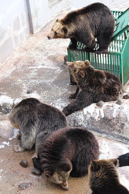 2014北海道旅行:のぼりべつクマ牧場 クマの実験3
