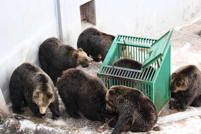 2014北海道旅行:のぼりべつクマ牧場 クマの実験6