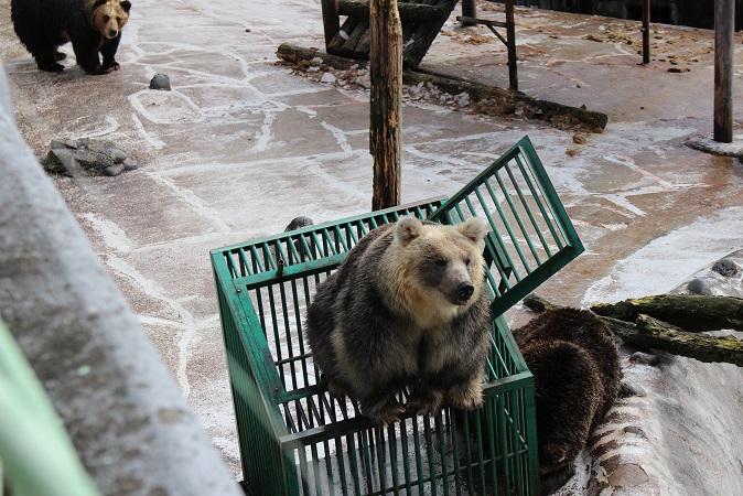 2014北海道旅行:のぼりべつクマ牧場 クマの実験9