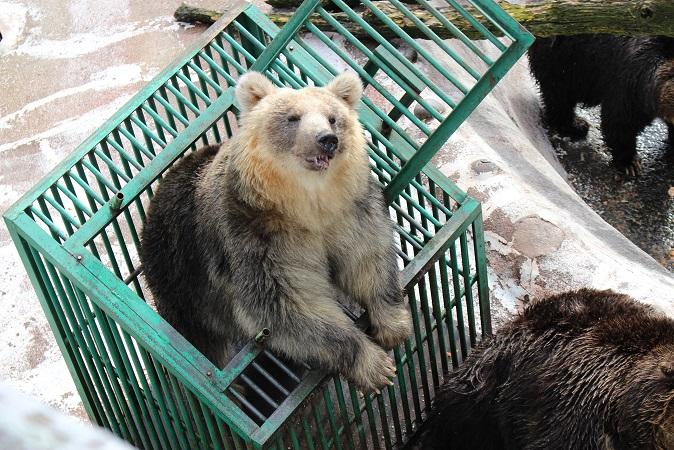 2014北海道旅行:のぼりべつクマ牧場 クマの実験10
