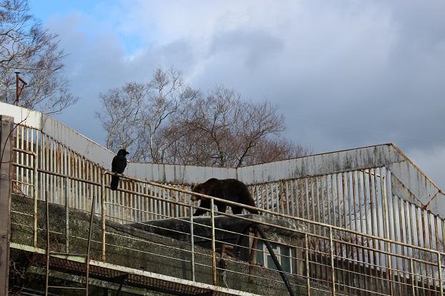 2014北海道旅行:のぼりべつクマ牧場 ヒグマ オス