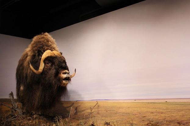 2015カナダ:0210イエローナイフ 博物館 剥製