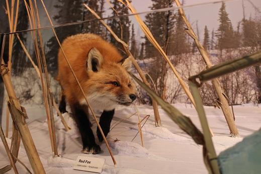 2015カナダ:0210イエローナイフ 博物館 剥製3