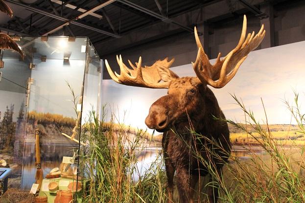 2015カナダ:0210イエローナイフ 博物館 剥製4