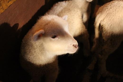 マザー牧場:シープショー 子羊2