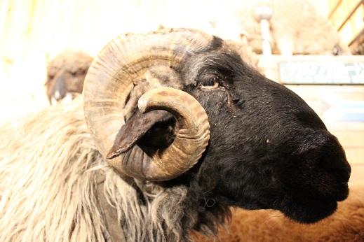 マザー牧場:シープショー 羊 黒顔