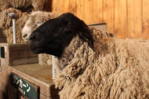 マザー牧場:シープショー 羊 黒顔2