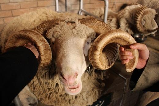 マザー牧場:シープショー 羊5