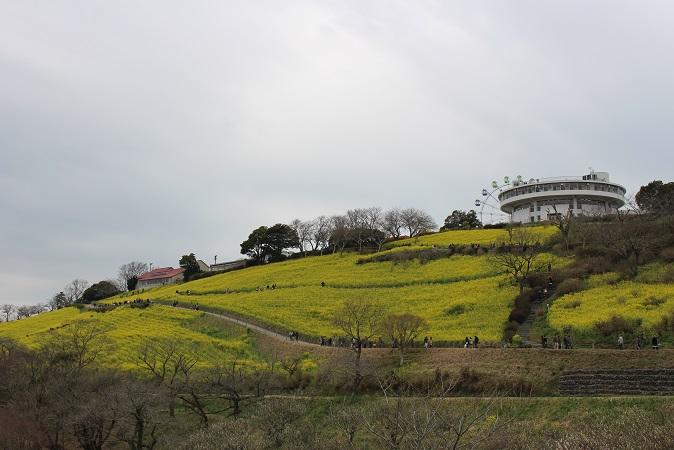 マザー牧場:菜の花 花の大斜面 西
