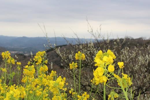 マザー牧場:菜の花 梅