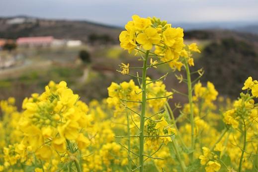 マザー牧場:菜の花2