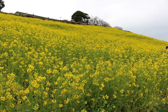 マザー牧場:菜の花3