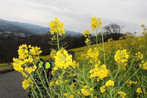 マザー牧場:菜の花4