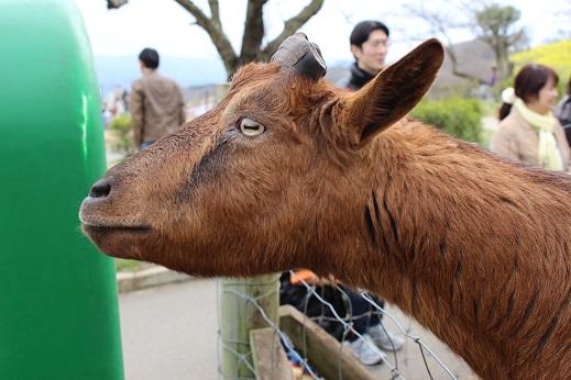 マザー牧場:山羊 茶