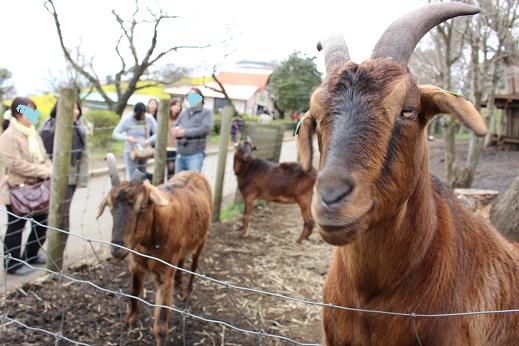 マザー牧場:山羊 茶2