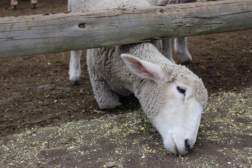 マザー牧場:羊 エサ