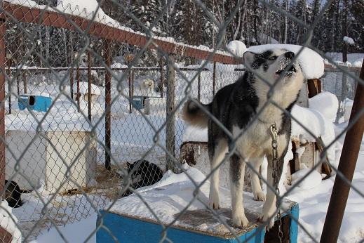 2015カナダ:0211イエローナイフ 犬