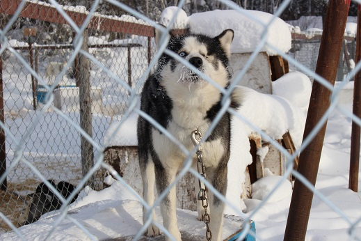 2015カナダ:0211イエローナイフ 犬2