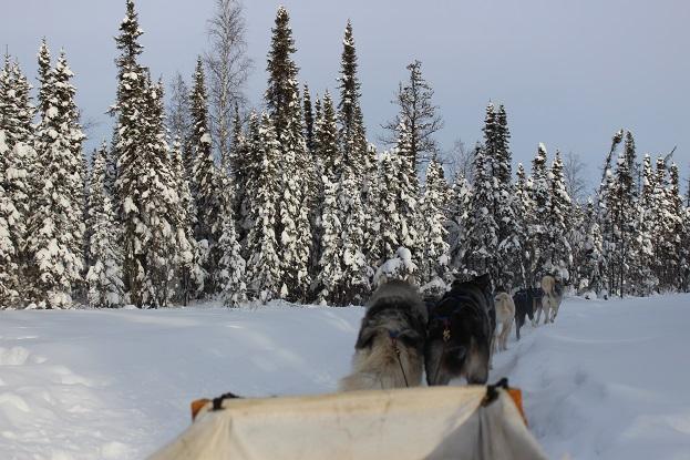 2015カナダ:0211イエローナイフ 犬ぞり4